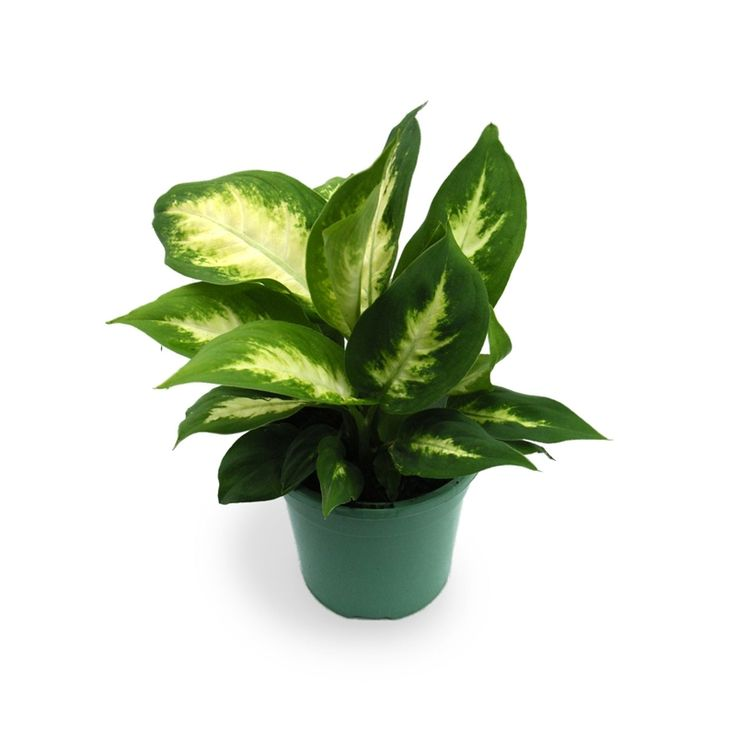 Plant easy care range 130mm dieffenbachia exotica i n for Easy maintenance garden plants