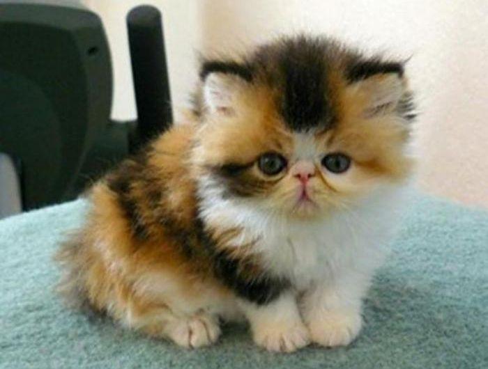 Le chat persan en 67 photos qui vous feront aimer cette race de chats