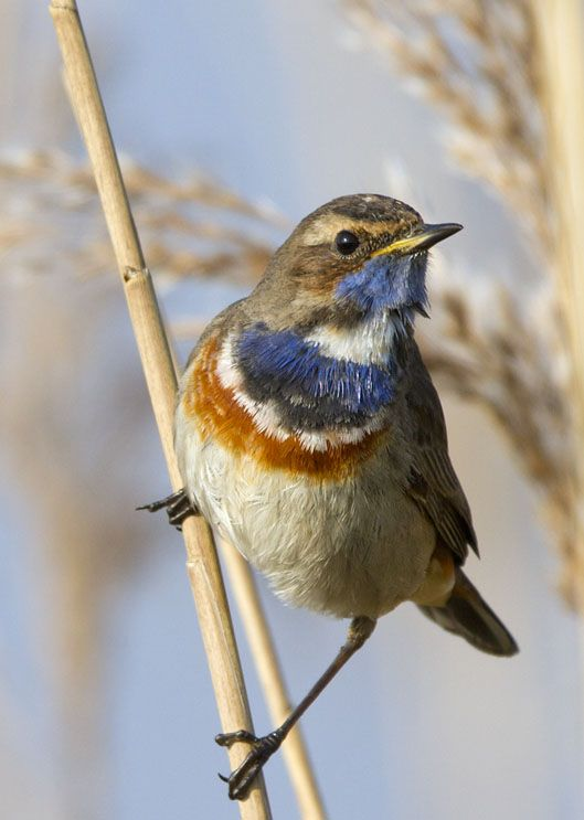 White-spotted Bluethroat ( Luscinia svecica cyanecula), witgesterde blauwborst, by Adri de Groot