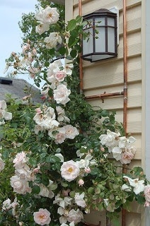 No canto da varanda ou da casa, a trepadeira pode  ornamentar dois lados.  Rosa-Trepadeira.