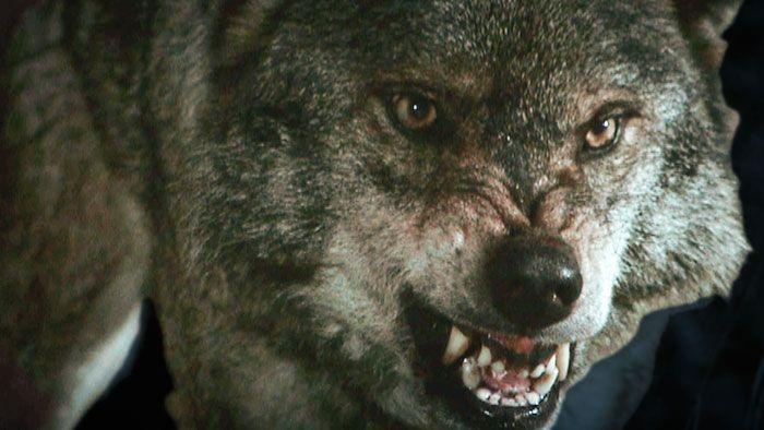 Lobos Salvajes