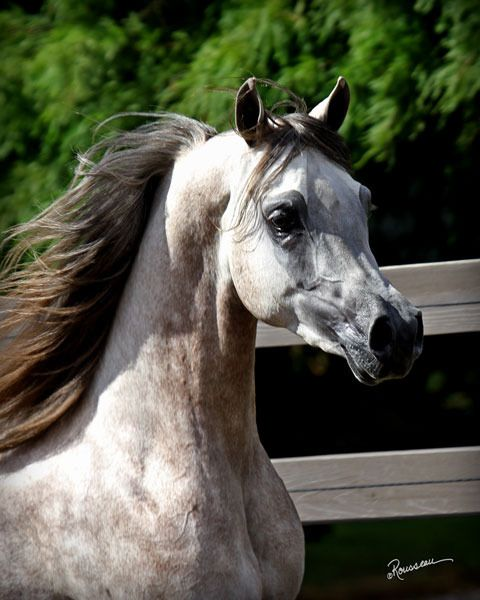 Magnyf Alcon :: Arabian horses of Freeland Farm