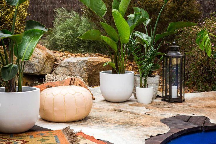 Strelitzia Nicolai, bird of paradise, pool plants, indoor plants, plants, plant styling