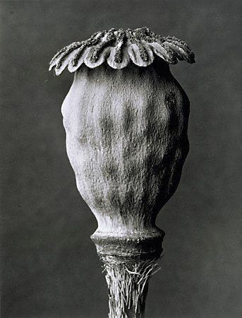 Poppy, (circa 1932, printed 1976) by Karl Blossfeldt :: The Collection :: Art Gallery NSW
