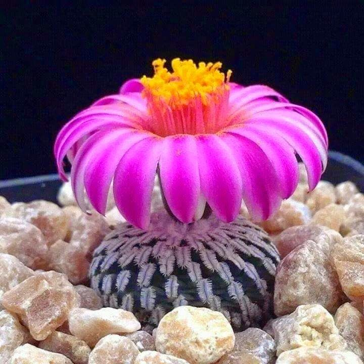 Flor de  cacto           Flor de cacto, flor que se arrancou À secura do chão. Era aí o deserto, a pedra dura, A sede e a solidão. Sobre a ...