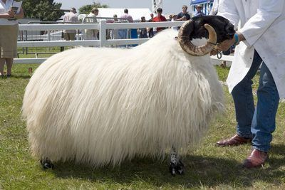 Scotch Black-faced ram – won the Sheep Championship at the Royal Cornwall Show (2007) - photo from Taking Stock ...Wow! That's a lot of wool!...