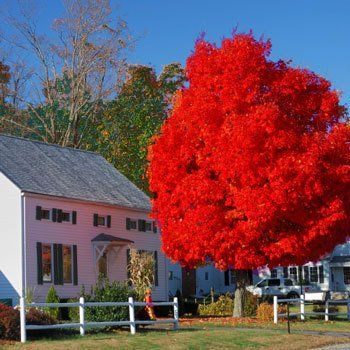 The Brightest Red Fall Foliage of any Tree! -  	An improved cultivar over all other Red Maple Trees... superior red color of the October Glory Maple™ is intense.  	An ideal landscaping tree... a fast growing tree that requires minimal attention! Commonly used to line drives or boulevards.  	October Glory Maple Trees quickly mature...