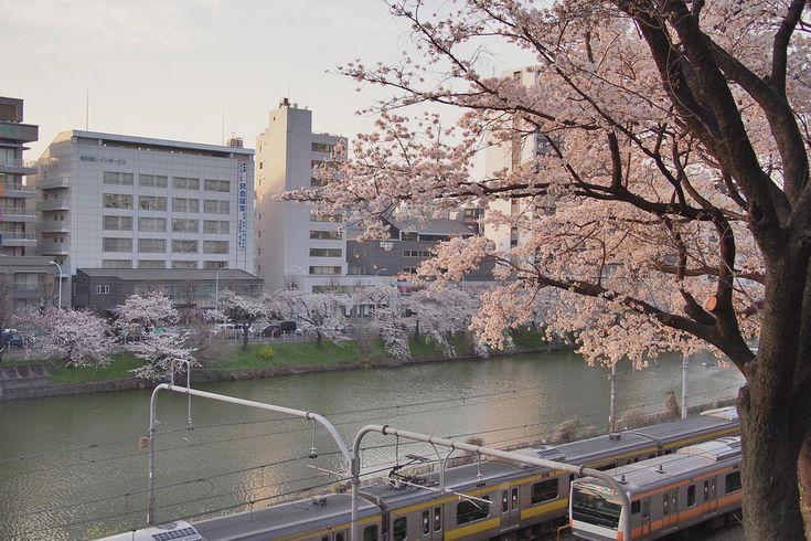 Japan sakura cherry blossoms