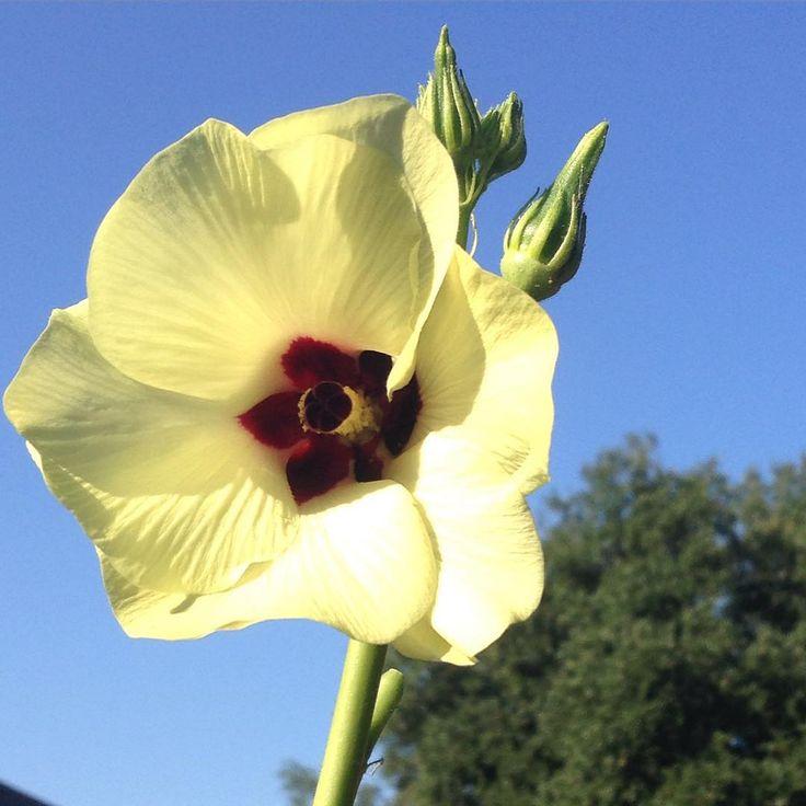#okra flower #urbanfarm #botanicalinterests