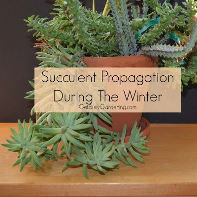 Succulent Propagation During The Winter Gardening