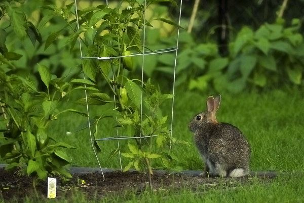 1000 images about things 4 gardening critters pest control on pinterest gardens garden for How to deter rabbits from garden