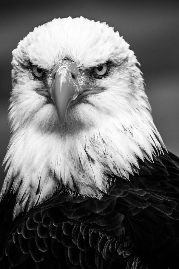 Best 25+ Eagle face ideas on Pinterest | Eagles, Eagle bird and ...