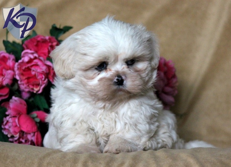 shih tzu puppies in pa dallas shih tzu puppies for sale in pa keystone 2729