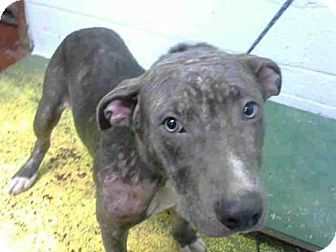 🔥🔥🔥 BETRAYED STARVED NEGLECTED BUT STILL WANTS LOVE PLEASE HURRY ALMOST OUT OF TIME💔💔💔Atlanta, GA - Pit Bull Terrier. Meet GLORIA, a dog for adoption. http://www.adoptapet.com/pet/16755974-atlanta-georgia-pit-bull-terrier
