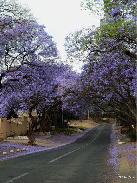 Jacarandas in bloom.  Bourke Street, Muckleneuk, Pretoria, (c) Florescence