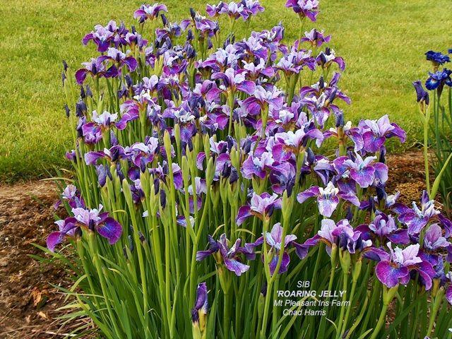 Iris Roaring Jelly Sibirica Plants Iris Jelly
