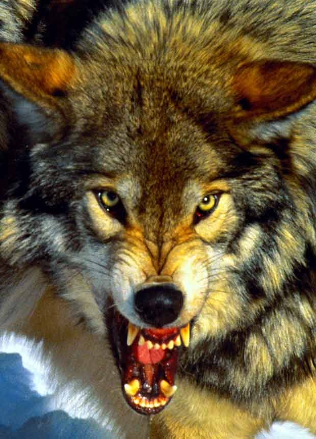snarling wolf - Google Search