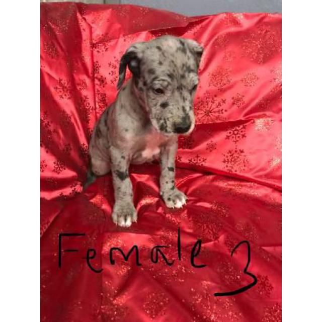 Great Dane Tempe Great Dane Puppies For Sale 6 Weeks Old Will Be