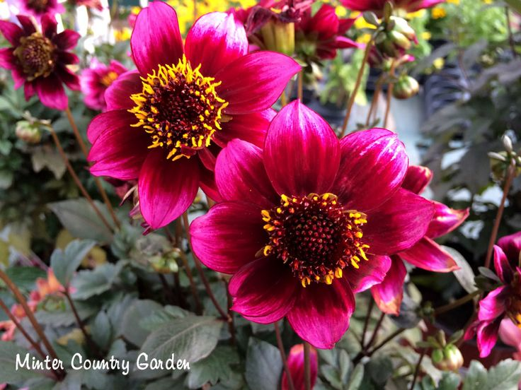 Dahlia 'Dreamy Nights'. Love how the petals look painted!