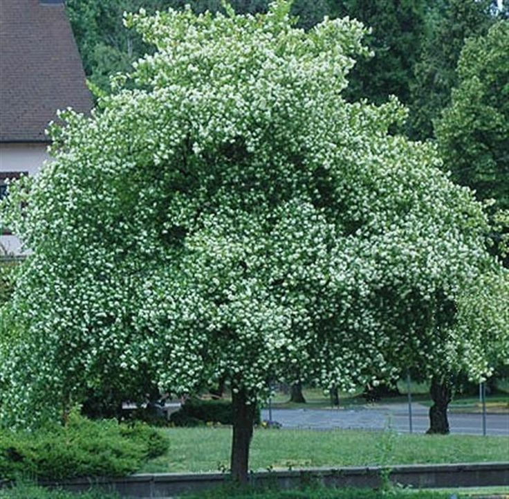 Chicago, Illinois Landscaping: Buy Mature And Fast Growing Trees Washington  Hawthorn Online With ITrees, The New And Simple Way To Serve Your Chicago  Area ...