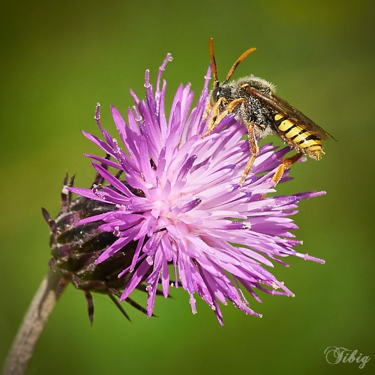 Photo Bee on Thistle by Tibi Galambos on 500px