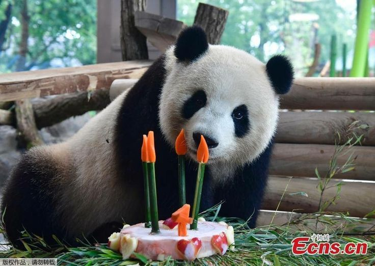 Popular Berlin Zoo celebrates th birthday of giant panda Meng Meng on July