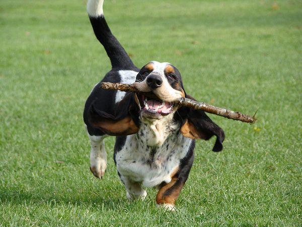 running basset hounds :D