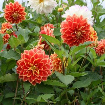 Dahlia Maxime - Dahlia décoratif aux fleurs rouge borduré de jaune. #jardin #plante #fleur #jaune #jardinjaune #blackgarden #jaune #garden #promessedefleurs #vitamine #coloré #couleurs #couleurschaudes