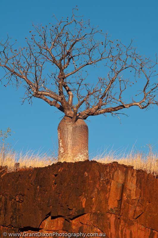 Western Australia, West Kimberley. Calder River. Boab (Adansonia gregorii), in dry season when tree is deciduous, atop basalt cliff, sunrise.