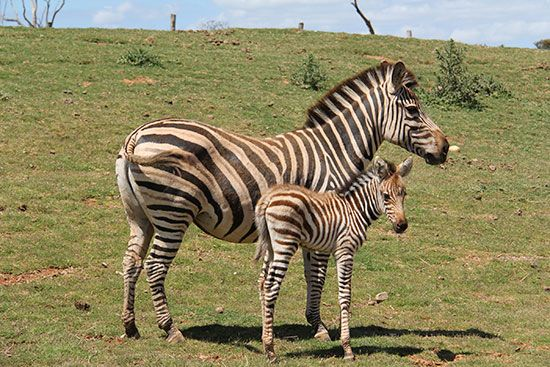 Werribee Open Range Zoo's Melako and mum Shani (Plains Zebras) - @Melbourne University project involving students.