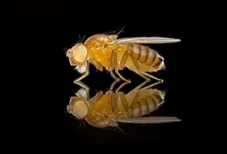 fruit flies eye color sex linked in San Jose