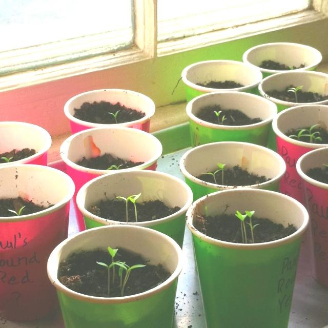 Starting heirloom tomatoes.
