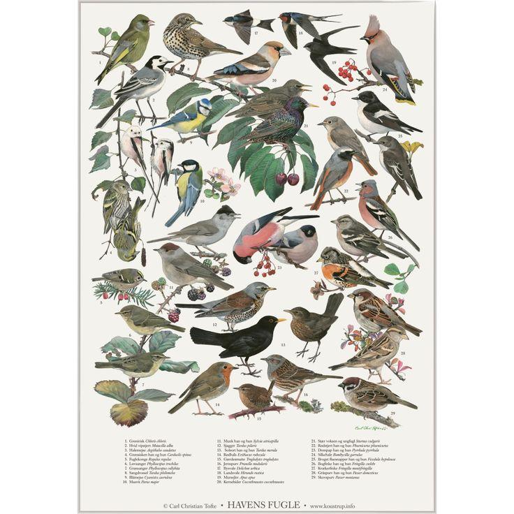 Koustrup & Co. plakat i A2 - havens fugle - Hokus Krokus