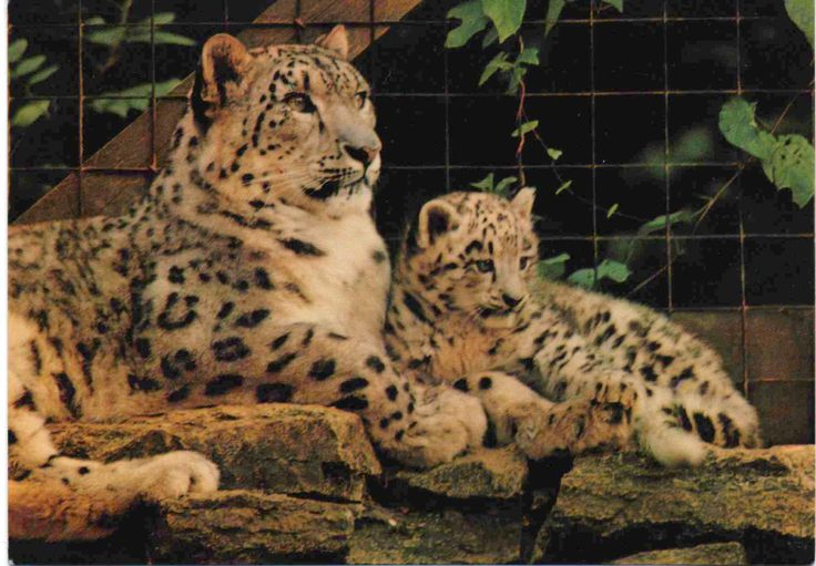 Unused postcard, Snow Leopard and cub at Marwell Zoo, England, mid 1980's by VintageNEJunk on Etsy