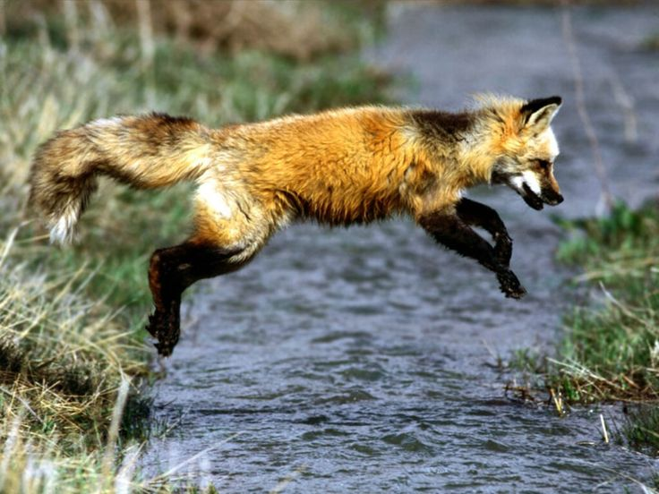Red Fox Wallpapers | HD Wallpapers Pulse