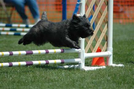 cairn terrier agility