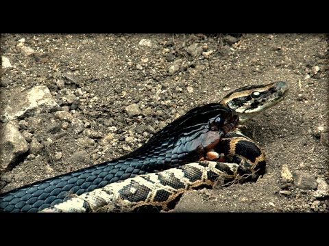 Королевская кобра напала на питона.Cobra attack on python.