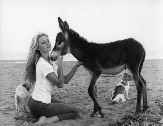 Animal lover Brigitte Bardot adopted this donkey and the dogs while on location for one of her movies. The donkey was quite sick and BB kept the animal in her rented house where she nursed it back to health. BB's lover told her she had to choose between him and the donkey. Guess whom she chose.
