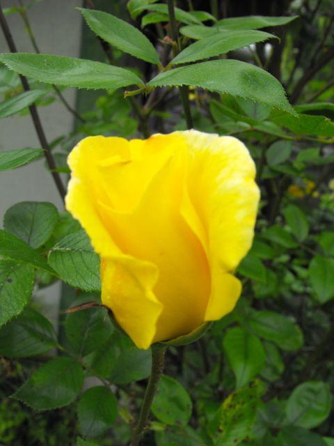 A rózsák metszésének fő időszaka nyugalmi állapotukban van. Ez az időszak nagyjából december közepétől-március közepéig tart, amit az időjár...