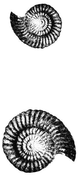 Ammonite 2 thermofax screen