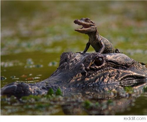 As ferocious and powerful as the Alligator is, she is a gentle, loving and protective mother...