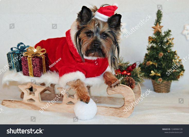 Yorkshire Terrier Dog Christmas Sleigh Santa Claus Dog Terrier Yorkshire Christmas Yorkshire Terrier Yorkshire Terrier Dog Christmas Dog
