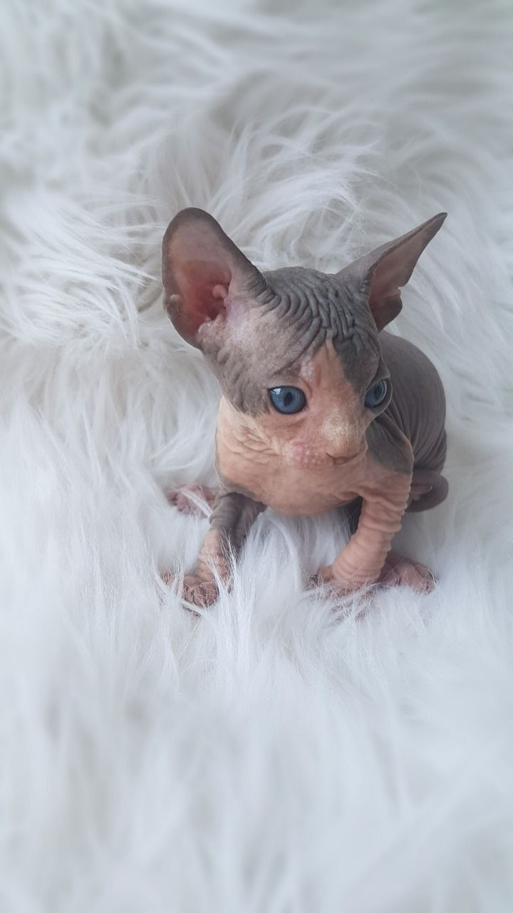 Sphynx Cats For Sale Winston Salem Nc In 2020 Cats For Sale Hairless Cats For Sale Sphynx Cat