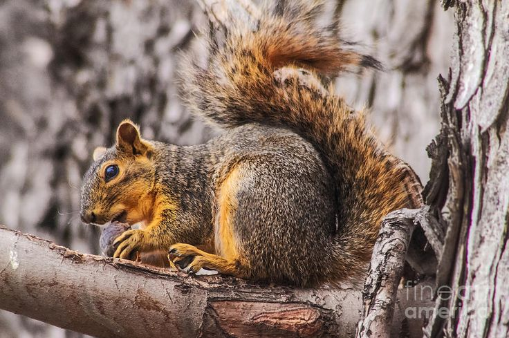 "Squirrel.     (""My Nut Photograph by Robert Bales."")                                      Press ""Visit"" to see other images in this collection (from which I pinned all the images I wanted) by the wonderful photographer Robert Bales of hot air balloons, birds, flowers, mammals, natural scenery, et al."
