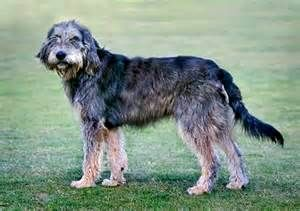 Griffon Nivernais - French - Medium Scenthound