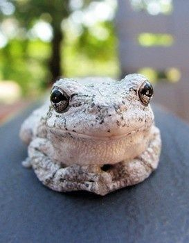 Gray Tree Frog. Just chilling!