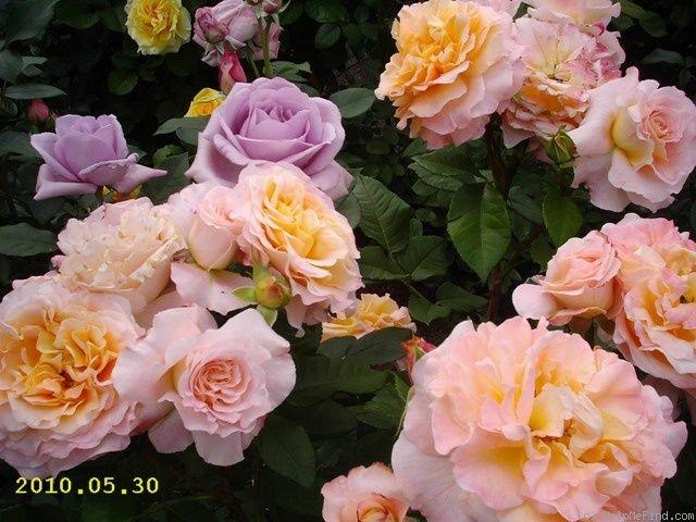39 augusta luise 39 rose photo tantau rose pinterest. Black Bedroom Furniture Sets. Home Design Ideas