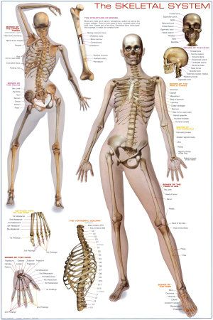 the female skeleton - Google Search