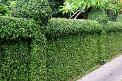 La Belle Jardin Creeping Fig Wall Cover