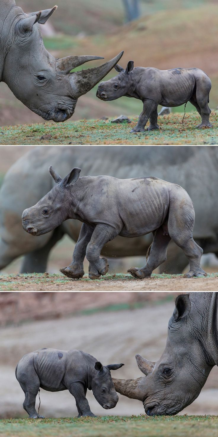 The San Diego Zoo Safari Park welcomed their 94th southern white rhino calf on Tuesday, September 13. The female calf is named Kianga, which means sunshine in Swahili.